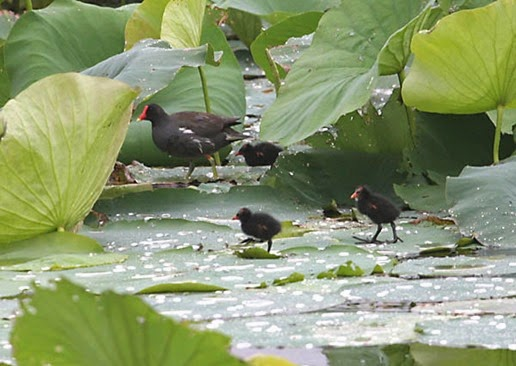 Amazing Pictures of Animals, Photo, Nature, Incredibel, Funny, Zoo, Common Moorhen, Gallinula chloropus, Aves, Alex (19)