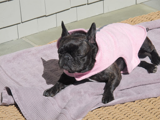 Oh, this feels so very nice!  What more can a Frenchie ask for?