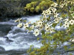 Dogwood-Tree-Blooms-Spring-Flower1