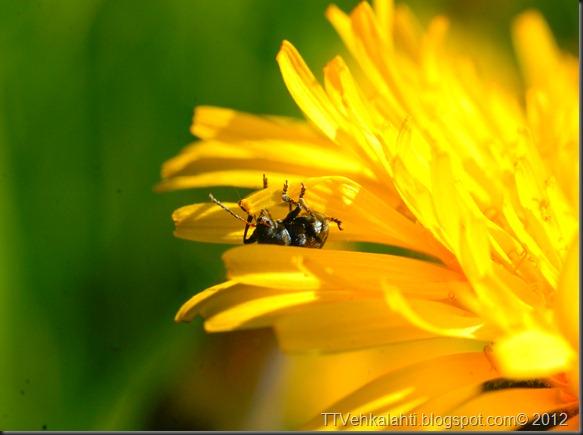 iltapäivä rakasteleva kukkakärpänen 061