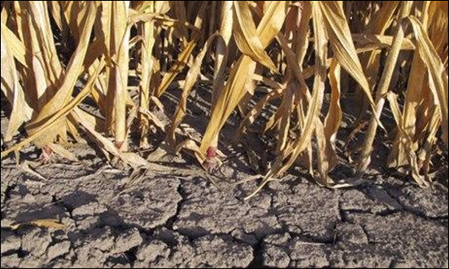 Corn crops in New Florence, Missouri, wither in the devastating drought of 2012. Photograph: MCT via Getty Images