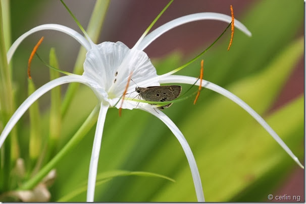 swift on spider lily
