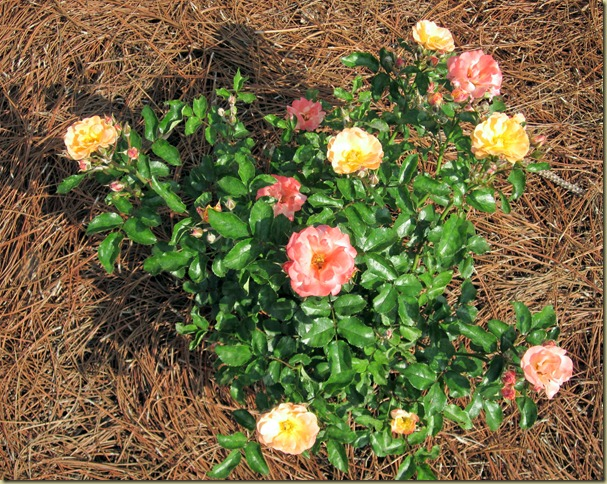 driff rose