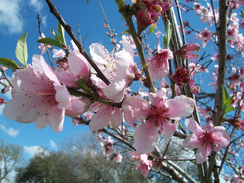 [Peach%2520Blossoms%25202012%2520003%255B6%255D.jpg]