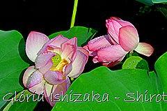86 - Glória Ishizaka - Shirotori Garden