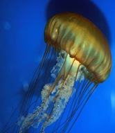 Jelly fish (Aurelia)
