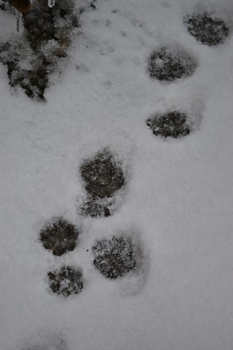 Cat prints - snow 2013