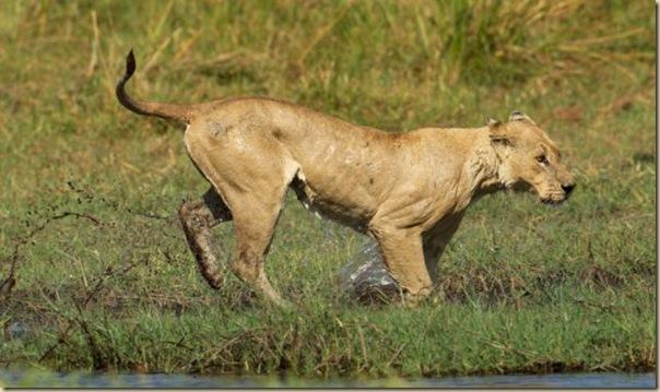 Le courage exeptionnel d'une lionne (8)