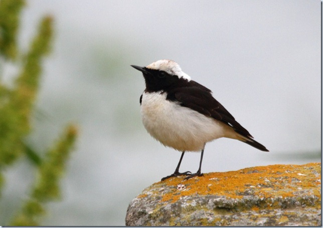 pied_wheatear