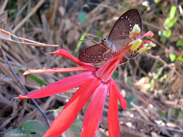 Eurybia halimede passercula STICHEL, 1915, verso. Forêt au Nord de Colider (Mato Grosso, Brésil), août 2011. Photo : Cidinha Rissi