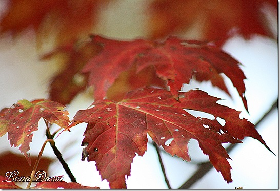 Crimson_Leaves