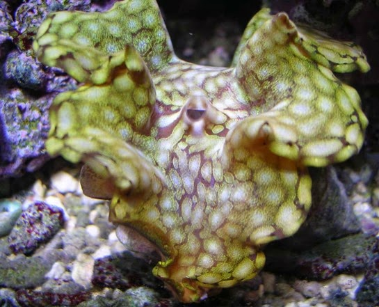 Amazing Pictures of Animals, Photo, Nature, Incredibel, Funny, Zoo, Fluted giant clam, Tridacna squamosascaly clam, Alex (9)