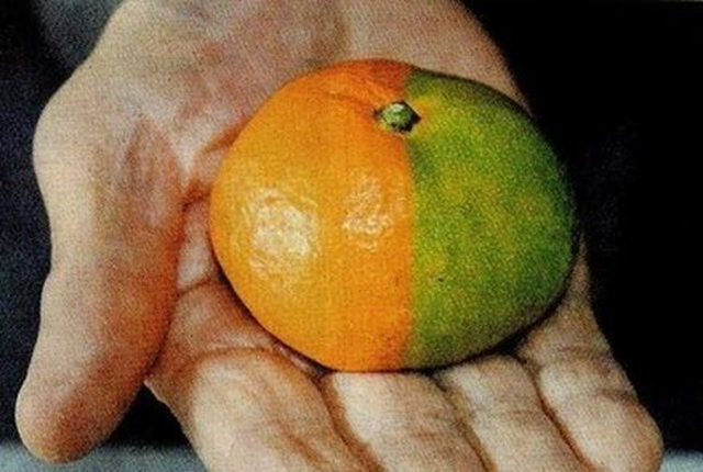 Mutated tangerine from the southern area of Kyushu, near the Fukushima nuclear plant. Photo: blog.donga.com