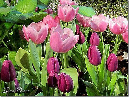 Tulips2