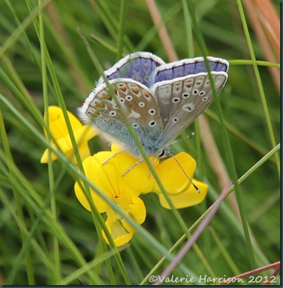 40-common-blue