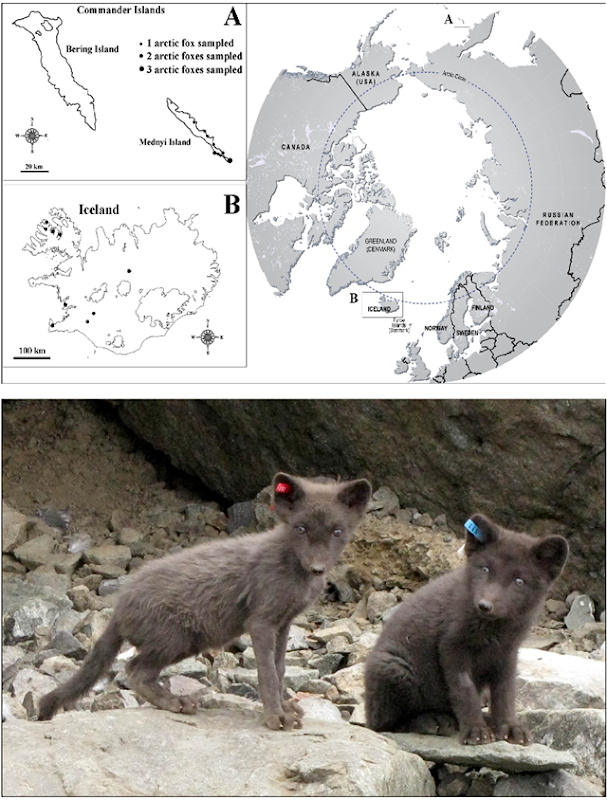 Sampling localities and health condition of Mednyi Island arctic foxes. aLocalities from which samples were derived are shown by black dots in panel A. The number of samples taken at each Mednyi Island location site vary by dot size as indicated. A refers to the Commander Island and B Iceland which are then shown relative to their circumpolar location. Panel B shows an image representing two Mednyi Island foxes demonstrating different health status. The fox on the left (red ear tag) is underweight with poor coat condition and the fox on the right (blue ear tag) presents good general health condition. Graphic: Bocharova, et al., 2013