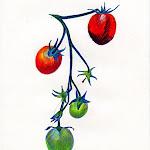 tomatoeshanging.jpg