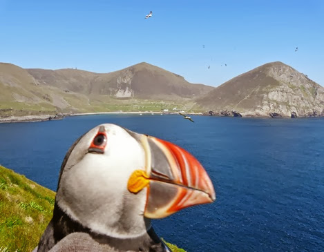 Amazing Pictures of Animals, Photo, Nature, Incredibel, Funny, Zoo, Puffins, Bird, Aves, Alex (18)
