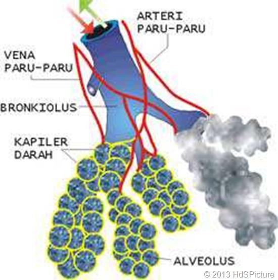 gambar bronkiolus dan alveolus