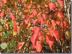 紅くなった葉
