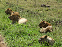 Lions galore in the Ngorongoro Crater