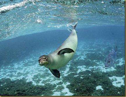 foca monje2