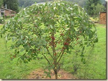 Pie cherry tree