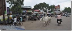 delhi gwalior 091 vaches