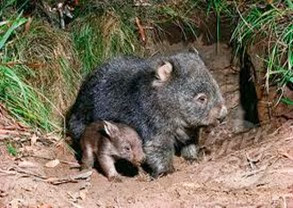 Amazing Pictures of Animals, Photo, Nature, Incredibel, Funny, Zoo, Common wombat, Vombatus ursinus, Marsupial, Mammals, Alex (2)