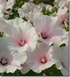 Hagepoppelrose - Lavatera trimestris