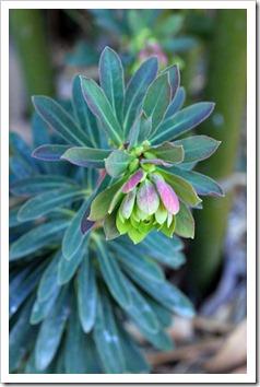 130225_Euphorbia-x-martinii_04