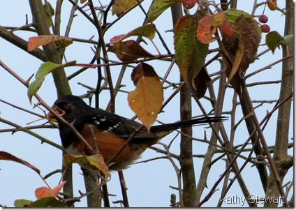 Towhee with a Choke Cherry