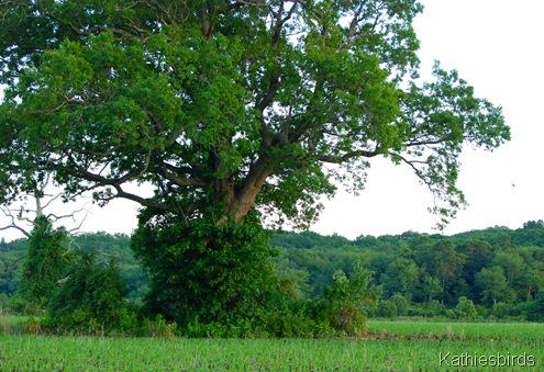 4. big oak tree-kab