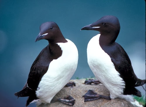 Amazing Pictures of Animals, Photo, Nature, Incredibel, Funny, Zoo, Guillemots, seabird, Bird, Alex (7)
