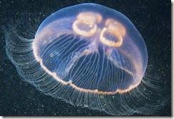 jellyfish-images-aurelia (3)