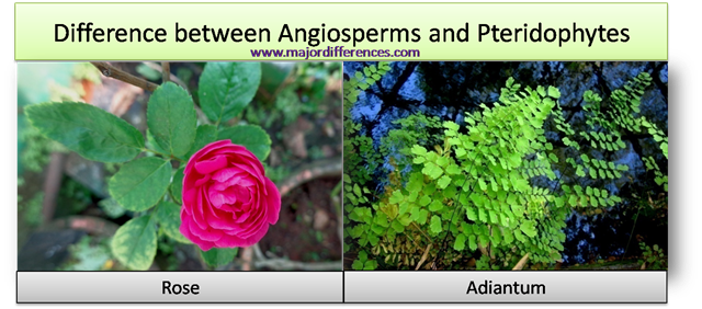 Difference between angiosperms and pteridophytes
