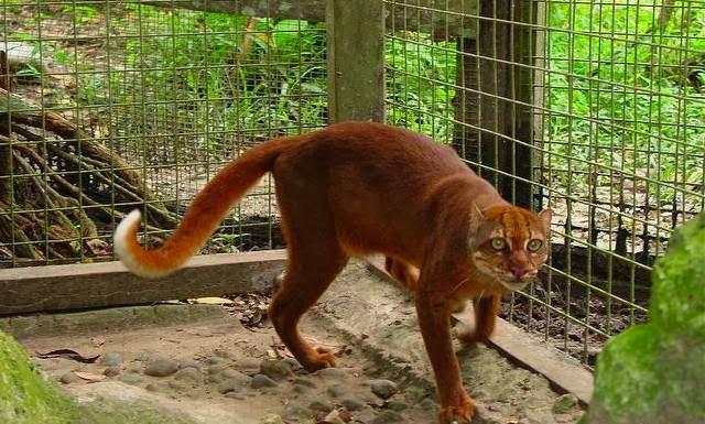 Kucing Borneo bay