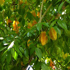 Sternfrüchte (Karambole) am Baum © Foto: Angelika Krüger | Outback Africa Erlebnisreisen