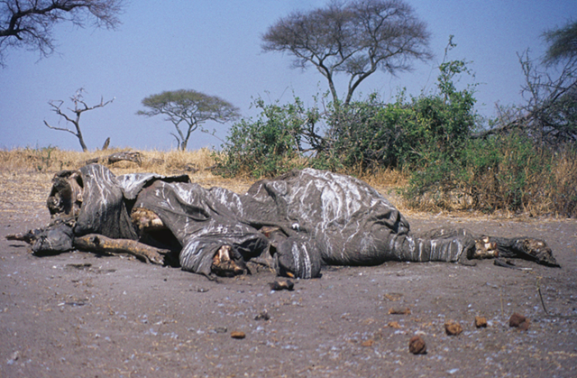 Poached Elephant Carcass in Tanzania 1984. This is a sad reminder of the ivory trade's devastation on the elephant population in Africa. The poachers cut out the tusks and left this carcass to rot. Jeff Shea