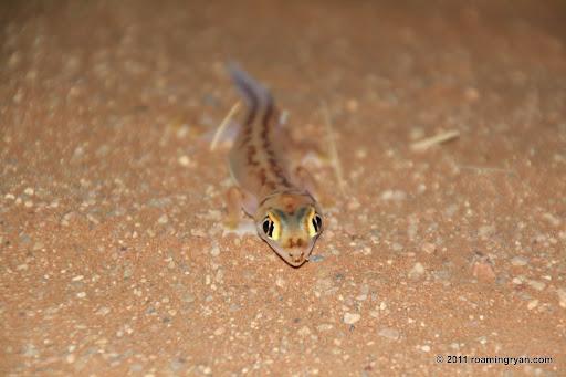 Namib Dune Gecko (Pachydactylus rangei)