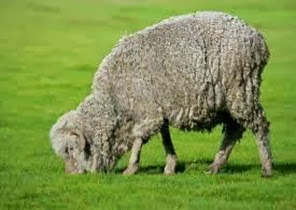Amazing Pictures of Animals, Photo, Nature, Incredibel, Funny, Zoo, Mammals, Merino, Sheep, Alex (11)