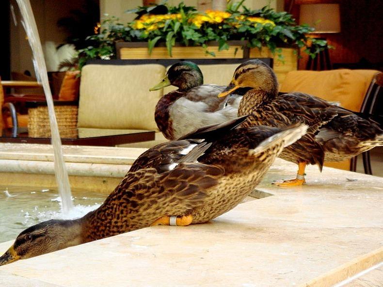 peabody-ducks-12