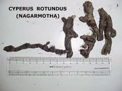 cyperus 2