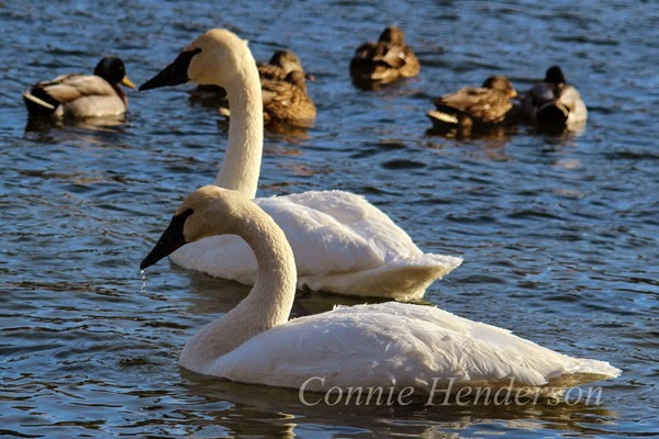 Trumpeter Swans on the River Jan 2015
