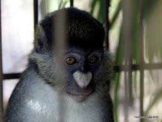 Un singe Hocheur blanc-nez en captivité dans un centre de recherche à Kinshasa, 2003.