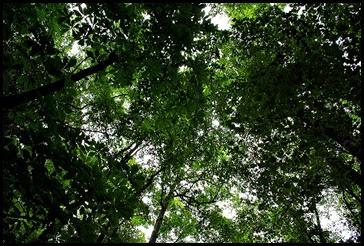 25e2 - Anna Ruby Falls Trail - Tree Canopy Above