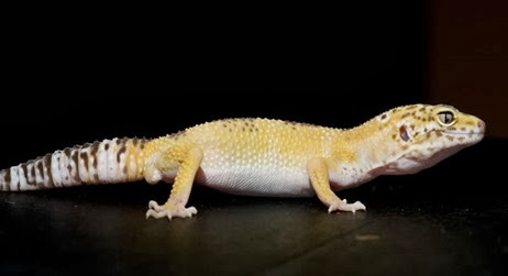 Amazing Pictures of Animals, Photo, Nature, Incredibel, Funny, Zoo, Eublepharis macularius, Leopard gecko, Alex (6)
