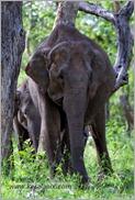 _P6A1696_wild_elephants_mudumalai_bandipur_sanctuary