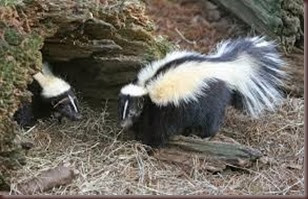 Amazing Pictures of Animals, Photo, Nature, Incredibel, Funny, Zoo, Skunks, Polecats, Mammals, Alex (4)