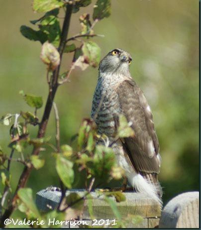 1 sparrowhawk-2